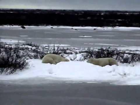 Polar Bears of Churchill Canada 2000 - 1 of 2