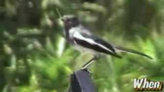 Oriental Magpie Robin - Symbol of Luck