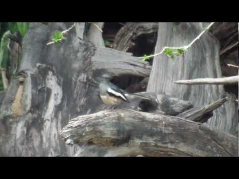 Dayallijster / Oriental Magpie Robin /  Copsychus saularis in Kalasin, Thailand