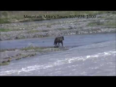 Yellowstone Wolves with Mountain Mike's Tours