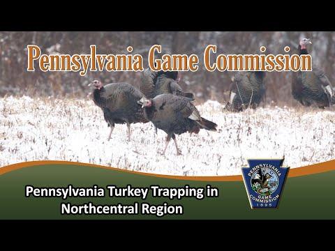 Pennsylvania Turkey Trapping In Northcentral Region