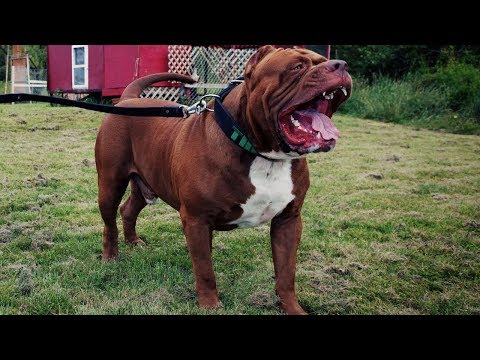 🐕 Types of Pitbull Mix Breeds That Are Popular [2019]