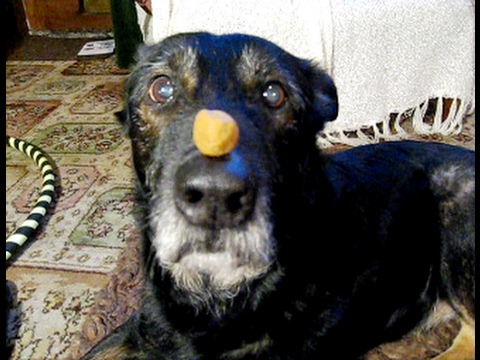 Dog Treat On Nose Trick, done in style