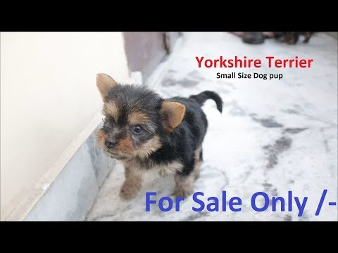 Yorkshire terrier puppy for sale in India #Asiapets - Call : +91 9555944924