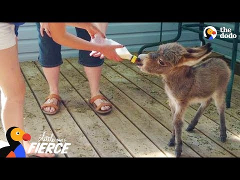 World's Tiniest Donkey Loves Pranking His Mom - TINY TIM | The Dodo Little But Fierce