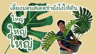 วิธีเลี้ยงมอนสเตอร่า(monstera)ให้ใหญ่ : ปลูกมา2ปีต้นมอนสเตอร่าจะโตได้ขนาดไหน(มีภาพประกอบ)