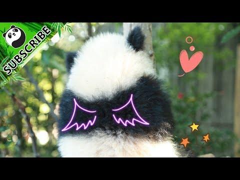 Pandas Teach You How To Prevent Hair Loss!   iPanda