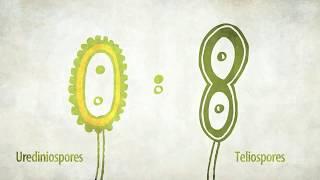 Stem Rust of Wheat| Life Cycle| गहुँको सिन्दुरे रोगको जीवनचक्र | Kiran Timilsina
