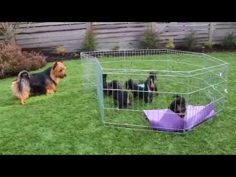 Eddie the Sailorman, Australian Terrier showing off for his puppies