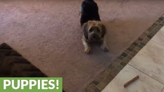 Yorkie goes absolutely bonkers over new bone