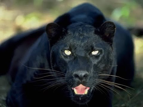 in-search-of-a-legend:-the-black-leopard
