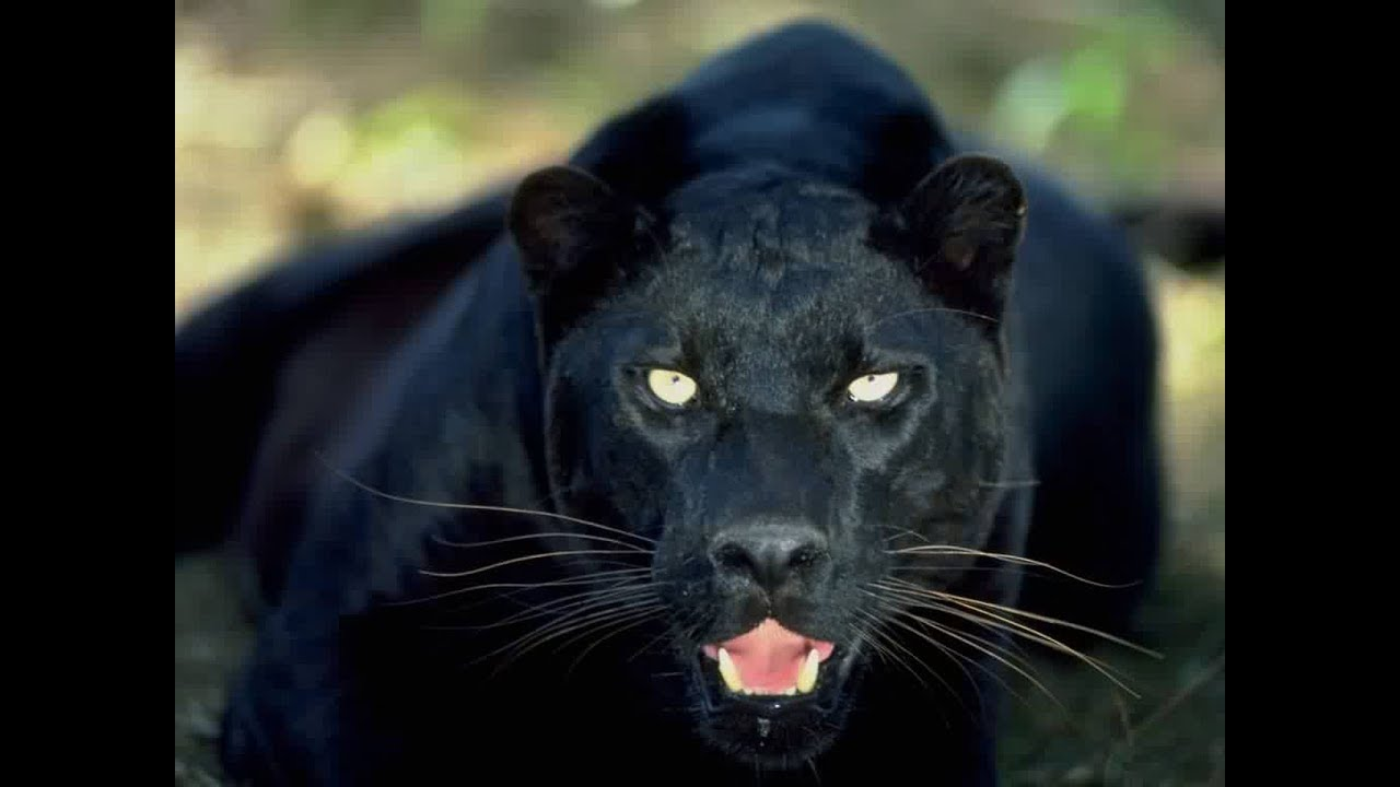 In Search of a Legend: The Black Leopard
