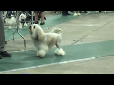 2017 03 18 IMG 4411 Kentuckiana Cluster Lowchen National Best in Breed No 39