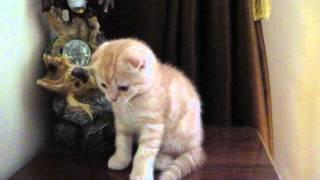 Продается шотландский вислоухий котенок.