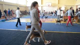 20.05.2017. Выставка собак. Бигль.