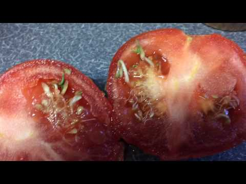 You won't believe this! GMO? Mutant  killer tomato with weird stuff growing inside