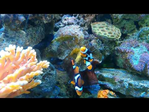 Clown fish breeding