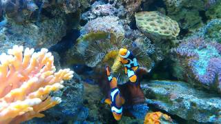 Clown fish breeding