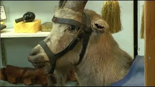 Sergeant Bill The Goat Hailed As A War Hero From WWI