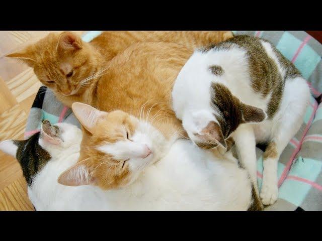Sleeping Cat -おしくらまんじゅう状態で眠る4匹の猫-