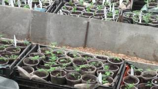 Выращиваем томаты и огурцы .Мои советы и секреты.