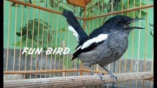 Pancingan Burung Kacer Dada Hitam