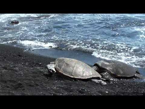Green sea turtles on Punalu