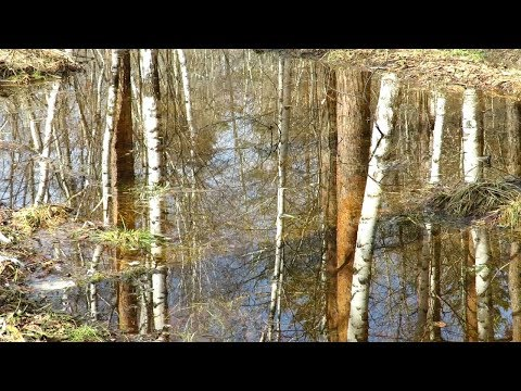 Зеркальная вода, отражение берез, Mirror Water, Reflection Of Birches