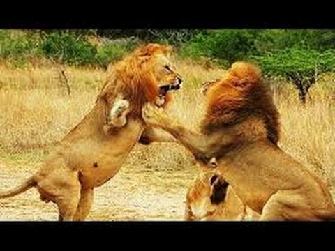 Gut bekannt superbe combat entre lions - YouTube WP57