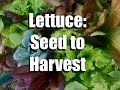 How To Grow Lettuce From Seed To Harvest Gardening Coast2Coast 2 mp3