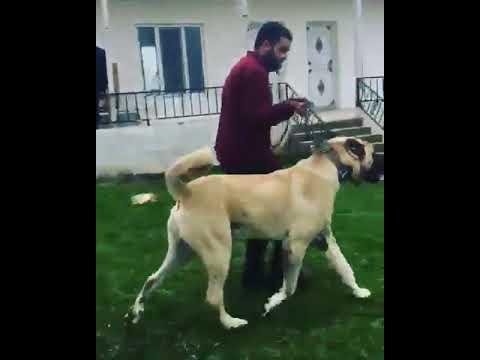 ANATOLIAN SHEPHERD DOG 90 cm 90 kg