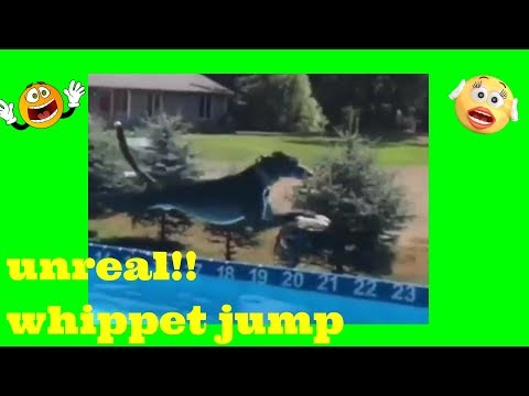 ► amazing whippet dog jump