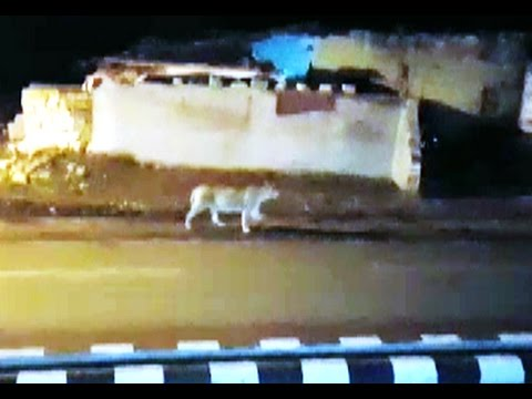 UNBELIEVABLE video from Girnar sanctuary A 9 Asiatic Lions pride with cubs entered in Junagadh city