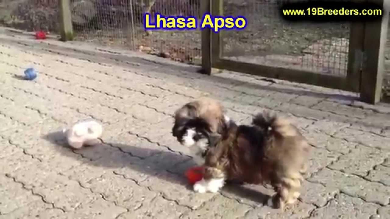 Lhasa Apso Puppies For Sale In Wichita Kansas Ks Pittsburg