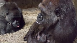 Mother Gorilla Adorably Cradles Her Newborn Baby While Proud Dad Looks On(There's nothing stronger than a mother's love. 15-year-old lowland gorilla Barika can be seen nursing her young in pictures posted to the Sedgwick County Zoo's ..., 2016-08-09T16:03:24.000Z)