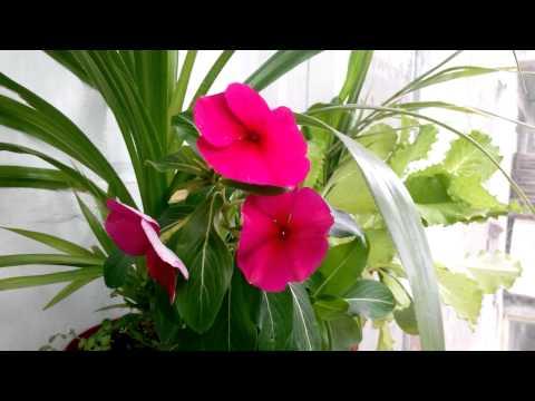 Мой цветок Катарантус уход .