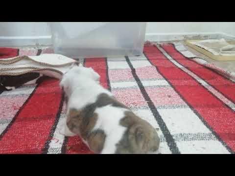 Batalla de Pequeños Gigantes Cachorros Bulldog Inglés