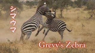 2012年7月にアフリカケニアのサファリで撮影したシマウマの映像です。シ...