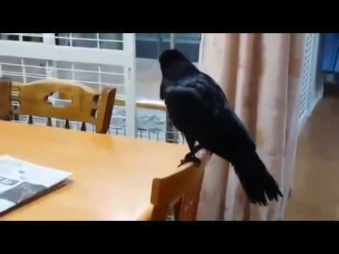 Funny Pet Crow The Funny Crow Funny Animal Youtube
