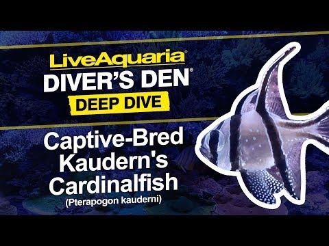 LiveAquaria® Diver's Den® Deep Dive: Captive-Bred Kaudern's Cardinalfish (Pterapogon Kauderni)