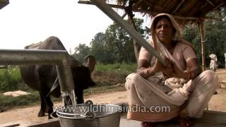 Buffalo drinking water from hand pump in Uttar Pradesh
