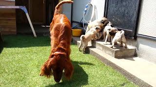 パグ3ヶ月子犬とアイリッシュセッターのコラボレーション.