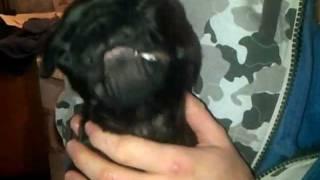 Funny Cute Pug Yawn
