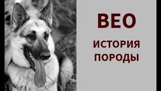 Восточноевропейская овчарка (ВЕО) - история породы.
