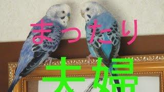 セキセイインコ hiyotan(♀)とぴーちゃん(♂)夫婦のまったりな感じを...