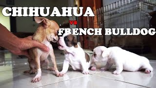 When Chihuahua and French Bulldog Puppies in One Cage