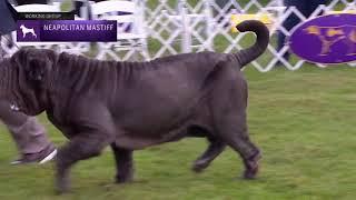 Neapolitan Mastiffs | Breed Judging 2021