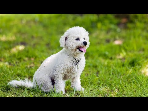 Bichon Frise Funny And Cute Moments Most Funny Video