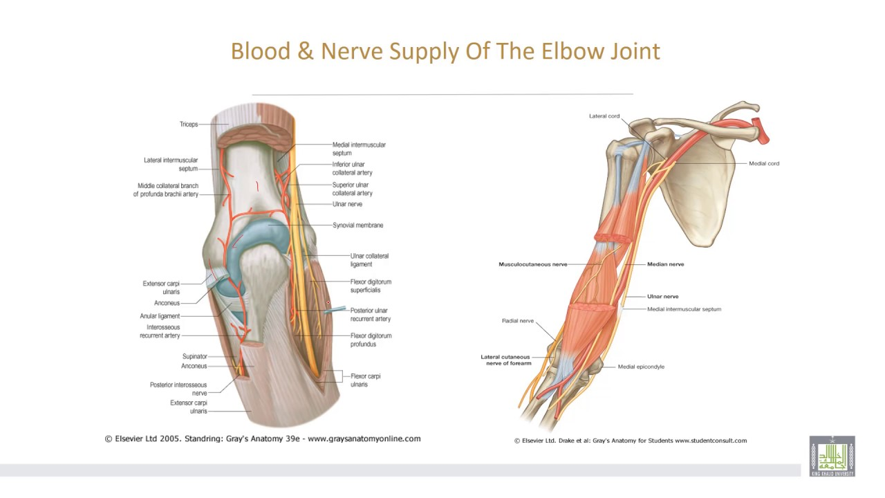 Anatomy 2 U2 L12 Elbow And Superior Radioulnar Joints Youtube