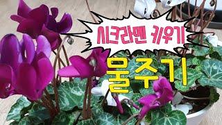 [환희사랑VLOG]겨울꽃 시크라멘꽃 이야기(주부TV)베…